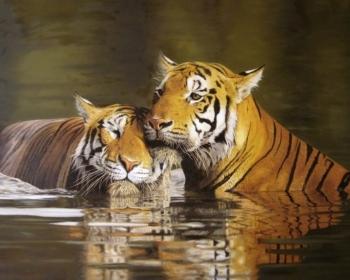 Bengalski tigrovi zaljubljenost